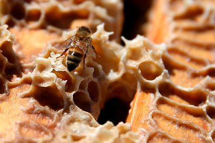 В пчелах обнаружили эффективное оружие против особо опасного рака
